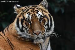 Bengal Tiger - Zoo Amneville (Mandenno photography) Tags: dierenpark dierentuin dieren animal animals france frankrijk bengal bengaalse tiger tijger tigers tijgers zoo amneville zooamneville dharan