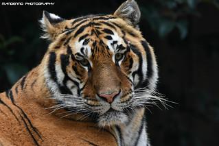 Bengal Tiger - Zoo Amneville