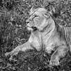 Knowsley Lion (Charliebubbles) Tags: olympusem10markiii olympus40150mmed photoshopcc blackandwhite mono selectivecolour nature wildlife wildlifepark knowsley 2017 crewe cheshire unitedkingdom