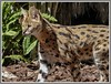 Serval Cat.( Leptailurus serval) (ro-co) Tags: fz200 panasonic bioparkspain cats servalcats animals borders felines