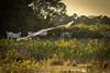 fliegender Jabiru- Storch Pantanal (andala08) Tags: brasilienubolivien2017 brazil brasilien pantanal storch stork jabiru tujuju flying fliegen water wasser wet nass cow kuh ranch