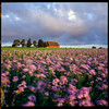 Abbekås - Ektachrome 100 exp* (magnus.joensson) Tags: sweden skåne abbekås autumn sunrise september rolleiflex 35 zeiss tessar 75mm kodak ektachrome 100 exp 2005 c41 6x6 medium format purple flowers countryside