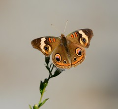 Buckeye Butterfly (KoolPix) Tags: buckeye buckeyebutterfly butterfly insect wings plant antenna koolpix jaykoolpix naturephotography nature wildlife wildlifephotos naturephotos naturephotographer animalphotographer wcswebsite nationalgeographic fantasticnature amazingnature wonderfulbirdphotos animal amazingwildlifephotos fantasticnaturephotos incrediblenature naturephotographywildlifephotography wildlifephotographer mothernature