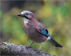 Our Jay this morning... (Linton Snapper) Tags: jay bird gardenbird wildbirds garden canon cambridgeshire lintonsnapper