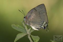 Panthiades bitias ( BlezSP) Tags: peru rainforest madrededios puertomaldonado faunaforever butterflies lycaenidae