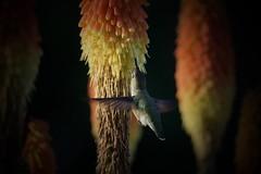 Snack time - version 2 (gsmper) Tags: hummingbird wildlife bird flowers colors california gaden inflight sony sigma mc11 bokeh vignette