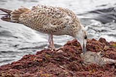 Insel Rügen - Vitt, Möwe mit Fisch (www.nbfotos.de) Tags: inselrügen vitt kaparkona möwe gull seagull vogel bird ostsee balticsea mecklenburgvorpommern