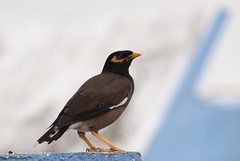 common myna (praveen.ap) Tags: common myna commonmyna
