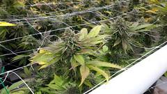 20150508_113359 (CannaPsy) Tags: cannabis medicalcannabis medicalmarijuana weed ganja medicine greenhouse lightdep cleanmeds soil caliweed collective prohibition warondrugs