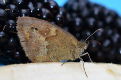 Fruity Flutter! (suekelly52) Tags: butterfly insect fruit gatekeeper berries