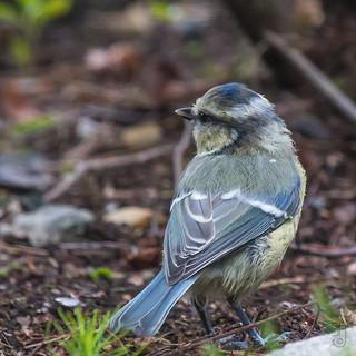 Blue Tit (Cyanistes caeruleus), juvenile-9732