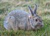 Rabbit (ruimc77) Tags: nikon d810 nikond810 nikkor afs 200500mm f56e ed nikkorafs200500mmf56eed rabbit wild life wildlife colorado springs co us usa coelho conejo animal grass
