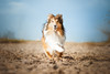 Running Collie (mona_hoehler) Tags: dog pet animal collie amercan girl model shooting nikon tamron beach summer sand outdoor duesseldorf running action fun