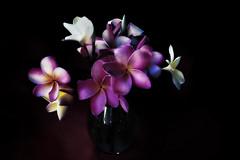 The Movie (Christina's World-) Tags: plumeria flowers vase stilllife artistic garden blackbackground