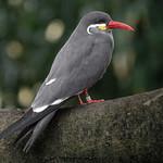 Inca Tern, National Aviary (Pittsburgh, PA) thumbnail