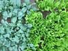 "my backyard garden"" kale vs romain (woodleywonderworks) Tags: img9640 backyard organic garden hobby love green grow spring variation theme blue variety flavor amazing money fun contrast color fresh dinner salad"