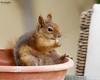 Somewhat tame (Ted Humphreys Nature) Tags: redsquirrel squirrels animals qatar tedhumphreysnature