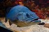 Wreckfish (Kurayba) Tags: fish aquarium oceanographic museum monaco wreckfish polyprion americanus pentax k5 da 1645 f4 musée océanographique dark wide open bubbles scales fat lip blue smcpda1645mmf40edal