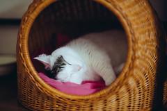 2017.6.6: chillin at home (Nazra Z.) Tags: munchkin cat cats home indoors natural light okayama japan raw summer vscofilm sleeping bed rattan
