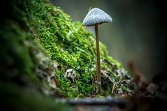 fungus (bialobrody) Tags: macro fungus forest mushroom