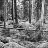 Magical Forest - Ultra 100 exp* (magnus.joensson) Tags: sweden swedish forest tree småland norrakvill blackandwhite monochrome 6x6 ultra 100 yellow filter rolleiflex f35 medium format selfdevelop stand 1100 1h epson v800 scan