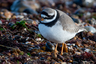 Ringed Plover-42
