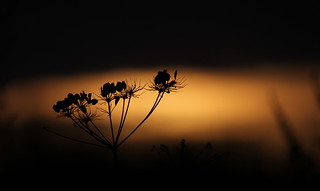 Sunset umbellifer