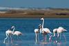 D50_6264.jpg (ManuelSilveira) Tags: flamingos aves fauna óbidos leiria portugal pt cinclus
