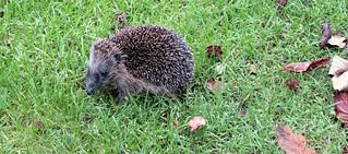 Egel / Hedgehog