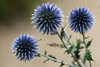 The Blue Trio (AnyMotion) Tags: globethistle ruthenischekugeldistel echinopsritro kugeldistel blossom blüte 2015 floral flowers botanischergarten frankfurt plants anymotion colours colors farben blue blau 7d2 canoneos7dmarkii summer sommer été verano zomer estate
