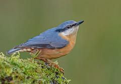 JWL4442  Nuthatch.. (jefflack Wildlife&Nature) Tags: nuthatch nuthatches birds avian animal animals wildlife wildbirds woodlands trees forest hedgerows bark countryside copse farmland nature ngc npc coth5