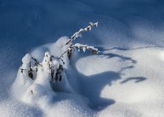 Légèreté (Lightness) (Larch) Tags: matin morning snow ombre shadow montagne mountain plante plant blanc white bleu blue agy hautesavoie france décembre december légère light douce soft gentle texture lightness légèreté