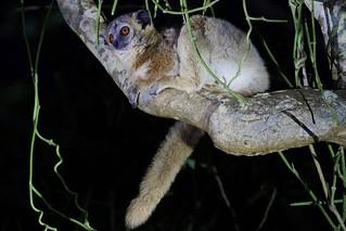 Sportive Lemur At Night