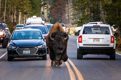 Yellowstone [EXPLORED] (jpmiss) Tags: 6d usa canon jpmiss bison yellowstone traficjam yellowstonenationalpark wyoming étatsunis us