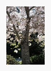 Dreaming of Spring II (bnishimoto) Tags: fuji fujifilm myfujifilm xpro2 hakonegardens saratoga bayarea photoessay 35mm classicchrome color japanesegarden nature cherryblossom flower spring