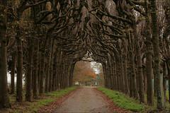 Kathedraal bomen (TeunisHaveman) Tags: borglaan lellens bomen kandelaars knotlinde