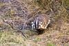 Badger in the Brush (isaac.borrego) Tags: canyon desert coyotegulch glencanyon nationalrecreationarea escalante utah canonrebelt4i