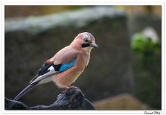 Geai des chênes sous la pluie. (C. OTTIE et J-Y KERMORVANT) Tags: nature animaux oiseaux corvidés passereaux geai geaidechênes garrulusglandarius