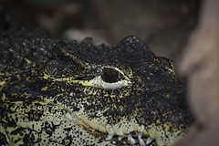 Cuban Crocodile (Crocodylus rhombifer) _DSC0031 (ikerekes81) Tags: cubancrocodilecrocodylusrhombifer cuban crocodile cubancrocodile crocodylusrhombifer crocodylus rhombifer reptile reptilediscoverycenterzoonationalnational rdc reptilediscoverycenter closeup macro smithsoniannationalzoologicalpark smithsonian smithsoniannationalzoo nationalzoo zoo zoosmithsonian fonz fonzphotoclub nikond3200 nikon d3200 sb700 70300mm istvankerekes istvan ik kerekes