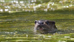 Otter (KHR Images) Tags: otter lutralutra wild mammal mustelid river wildlife nature closeup nikon d500 kevinrobson khrimages