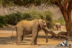 Tb20011007-ZL_DSC_0679.jpg (Lion Mountain Media) Tags: desertphotography hoanibriver hoanibskeletoncoast namibnaukluftnationalpark namibia zarialamberti desertelephant loxodontaafricana wildlife nature naturephotography wildlifephotography