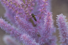 Hovering (StrangeCharmDesign) Tags: flower pink astilbe garden nature outdoors purple petal pollen hoverfly fly flying bee wing pollination seatac botanicalgarden washington