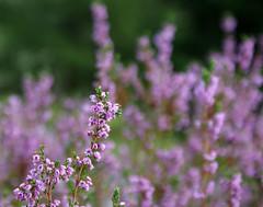 heather (helena.e) Tags: helenae ljung heater flower blomma calluna vulgarisw rosa pink