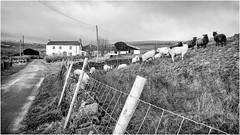 Harwood . (wayman2011) Tags: lightroomfujifilmxpro1fujifilmxf18mmf2 wayman2011 rural farms sheep fences pennines dales teesdale harwood countydurham uk