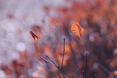 L'orchestra. (@5imonapol) Tags: leaves leaf red nature macro foliage fall autumn december bokeh light sunlight