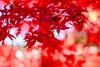 Autumn Leaves of Kuhonbutsu Joshinji Temple in Setagaya, Tokyo (Dakiny) Tags: 2017 winter december japan tokyo setagayaward kuhonbutsu joshinj city street temple kuhonbutsujoshinj autumnleaves autumncolors maple red bokeh