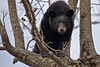 CRUNCH TIME (Larry W Brown) Tags: blackbear shenandoahnationalpark virginia hyperphagia