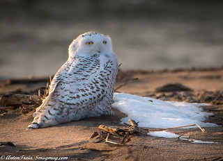Snowy Owl during sunset