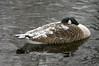 """The Snow Goose"" (tim ellis) Tags: snow suttonpark wyndlygate snowgoose candagoose goose bird wyndleypool birmingham uk"