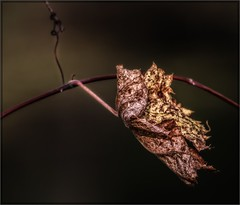 0457-  Oak Leaf (canuckguyinadarkroom) Tags: